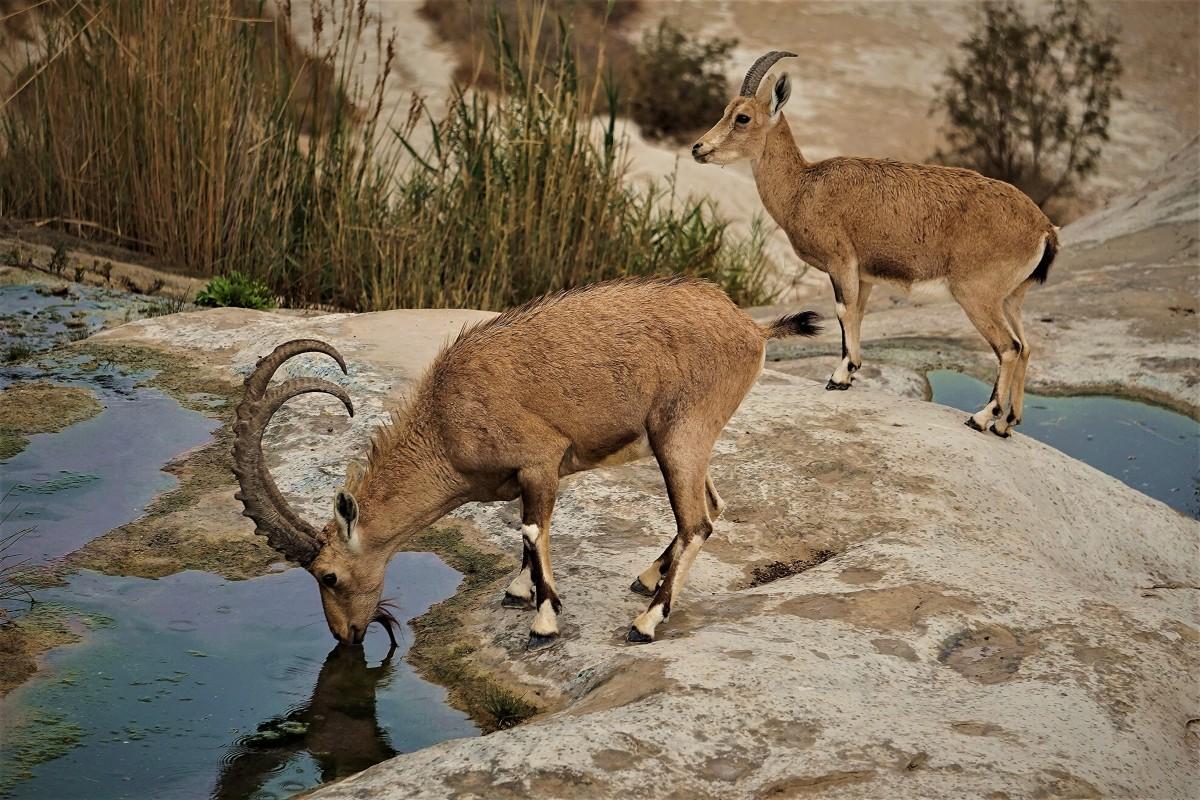 Zdjęcia: Park Narodowy Avdat, Pustynia Negew, U wodopoju, IZRAEL