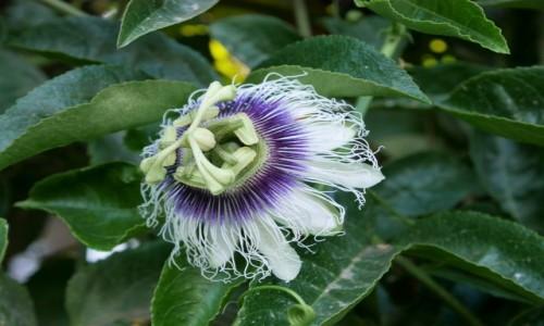 Zdjecie IZRAEL / Dystrykt Południowy / Aszkelon  /  Passiflora w Izraelu
