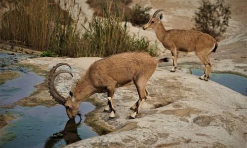 Zdjecie IZRAEL / Pustynia Negew / Park Narodowy Avdat / U wodopoju