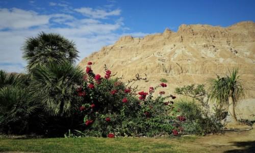 IZRAEL / Morze Martwe / En Gedi / Ukwiecona pustynia