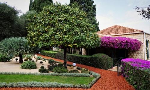 Zdjęcie IZRAEL / Haifa / Ogrody Bahai / Drzewko pomarańczowe