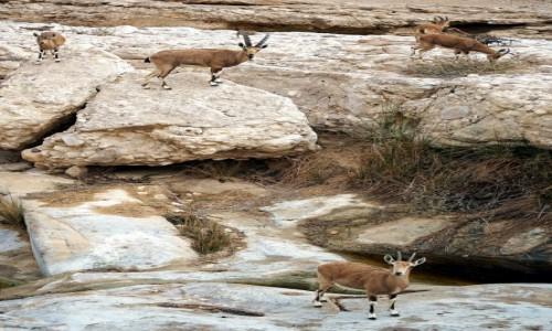 Zdjecie IZRAEL / Pustynia Negew / Park Narodowy Avdat / Pod obserwacją