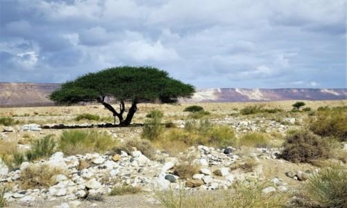 Zdjecie IZRAEL / Pustynia Negew / Mitzpe Ramon / Drzewko