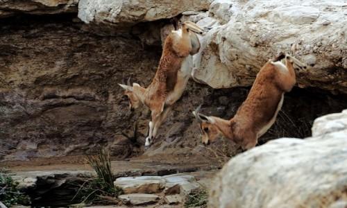 Zdjecie IZRAEL / Pustynia Negew / Park Narodowy Avdat / Skok
