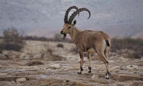 Zdjecie IZRAEL / Mitzpe Ramon / Park Narodowy Avdat / Jaki kraj takie kozy :)