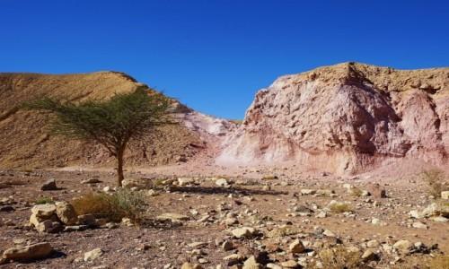 Zdjęcie IZRAEL / Eilat / Czerwony Kanion / Krajobraz z drzewkiem