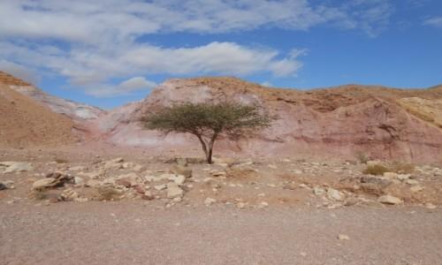 Zdjecie IZRAEL / red canyon / w drodze do kaniunu / pustynne drzewo,,..