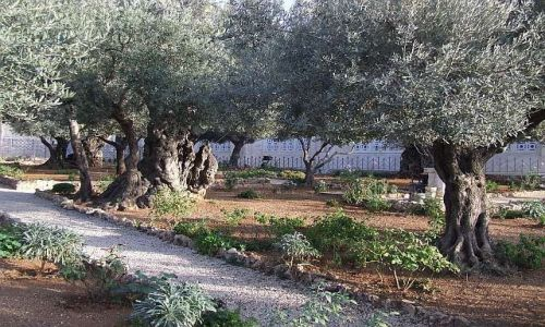Zdjecie IZRAEL / Jerozolima / Jerozolima / Ogród oliwny