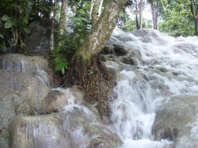 Zdjęcia: Ocho Rios, drzewo na wodospadzie, JAMAJKA