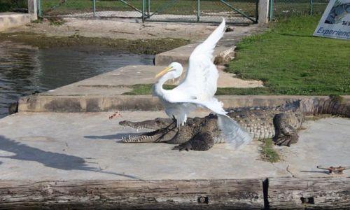 Zdjęcie JAMAJKA / - / black river / aligator contra czapla part 2