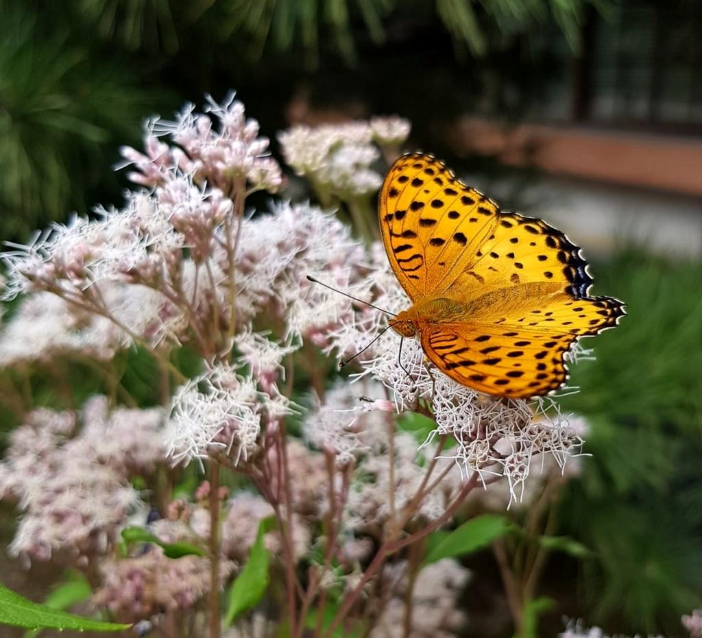 Zdjęcia: Arashiyama, Kioto, Motyl, dostojka, JAPONIA