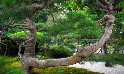 Zdjecie JAPONIA / Kioto  / temple / mumia drzewo