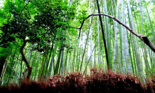 Zdjęcie JAPONIA / Honsiu / Kioto / Las bambusowy