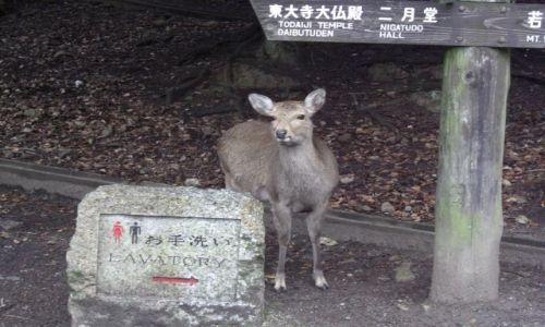 JAPONIA / brak / NARA / Sarna zawsze pomoże