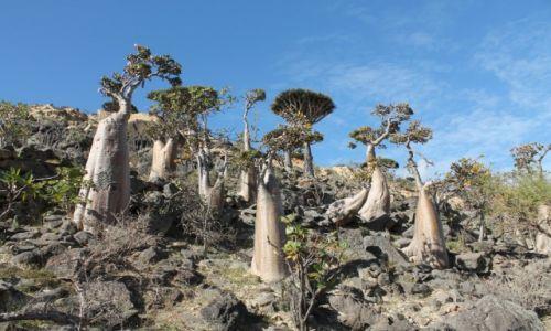 Zdjecie JEMEN / Arabia / Wyspa Sokotra / Drzewa butelkowe