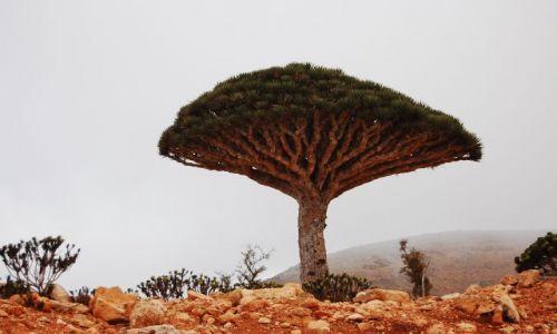 Zdjęcie JEMEN / Socotra / Socotra / Smocze drzewo 2