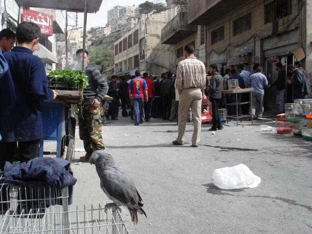 Zdjęcia: Amman, papuga, JORDANIA
