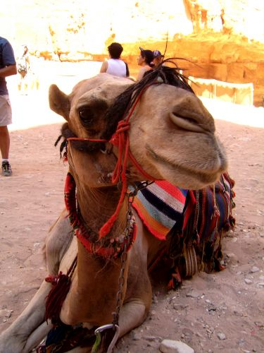 Zdjęcia: Petra, Wielbłąd, JORDANIA
