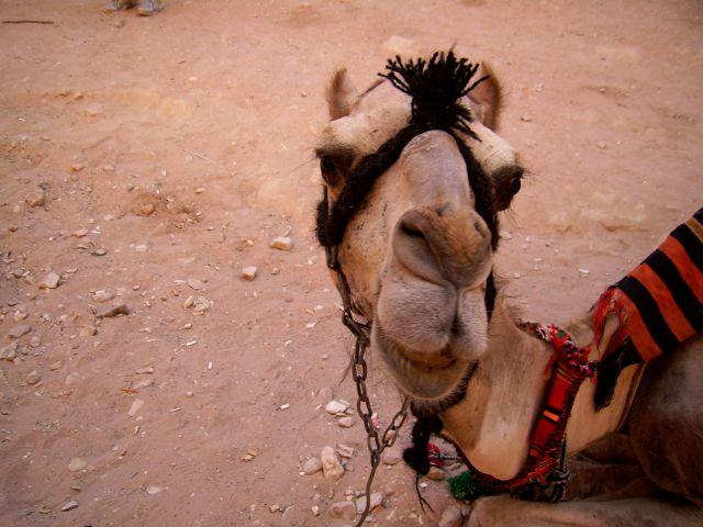 Zdjęcia: Petra, Wielbłądek, JORDANIA