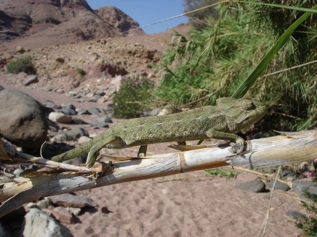 Zdjęcia: Vadi Dana, kameleon, JORDANIA