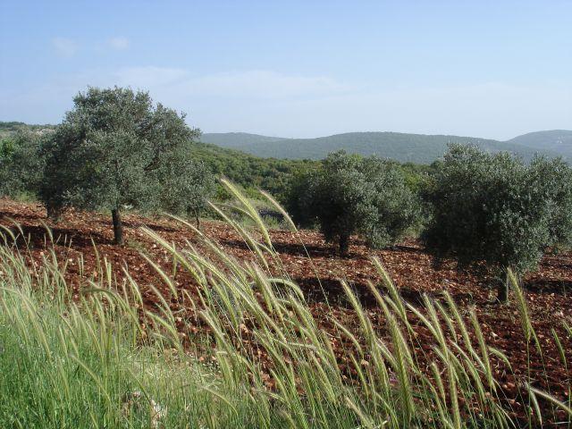 Zdjęcia: Adzlun, oliwki, JORDANIA