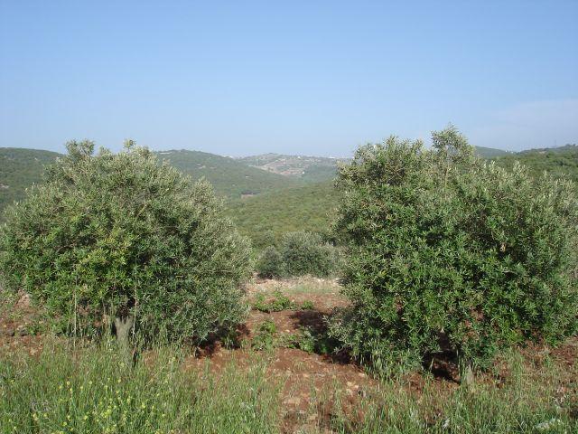 Zdjęcia: Adzlun, oliwki 2, JORDANIA