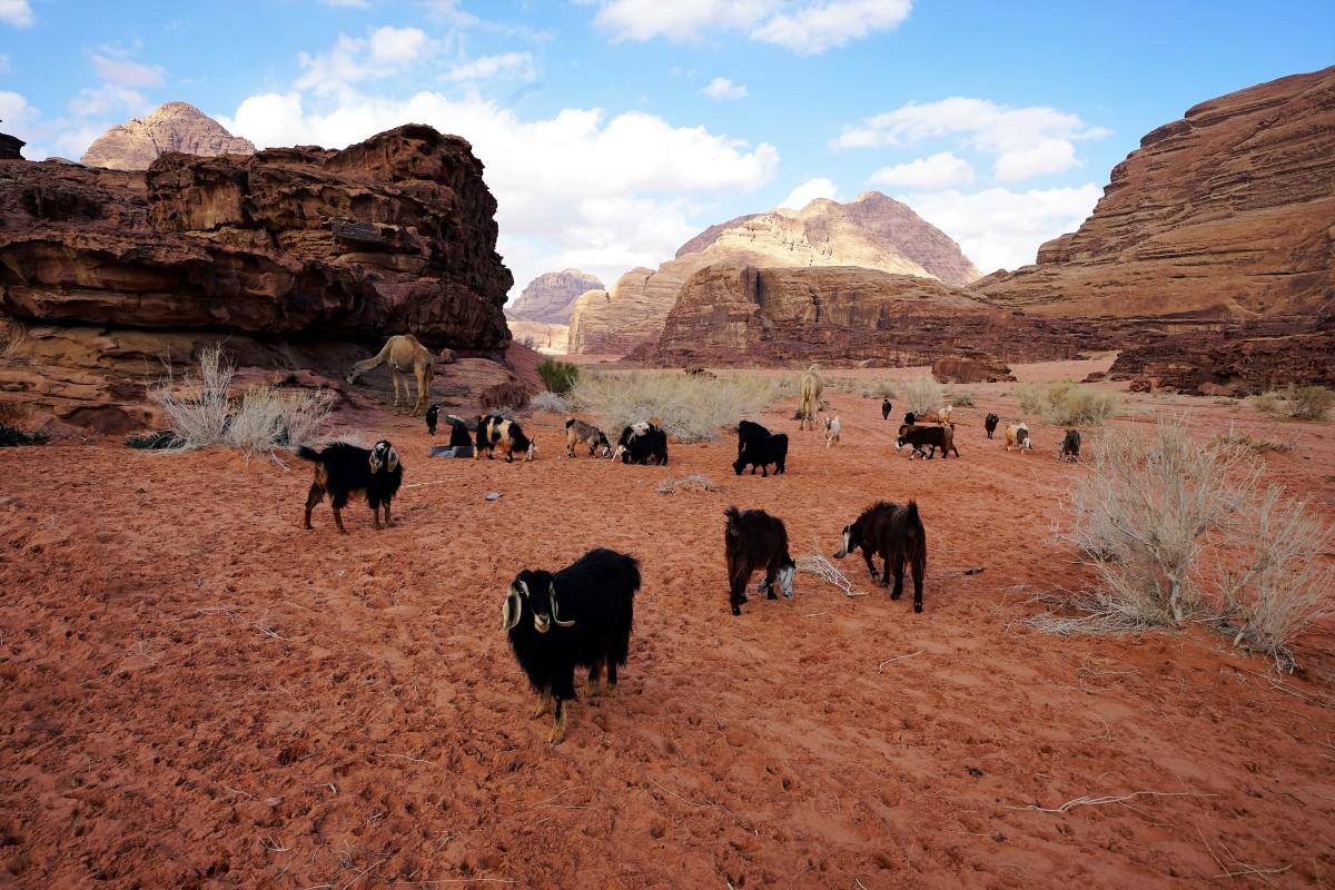 Zdjęcia: ., Wadi Rum, Zdziwiony kozioł, JORDANIA