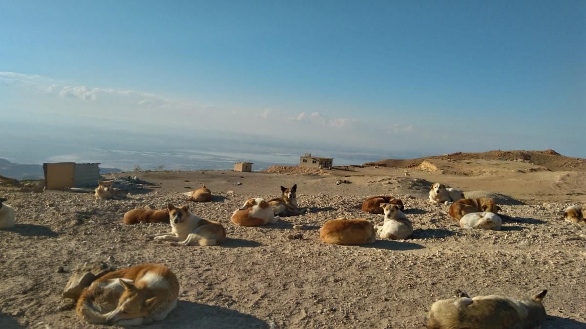 Zdjęcia: tuż powyżej morza martwego , ., bezpańskie psy przy drodze..., JORDANIA