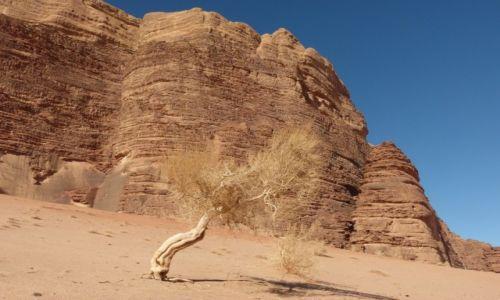 Zdjęcie JORDANIA / Wadi Ram / Pustynia / Drzewo