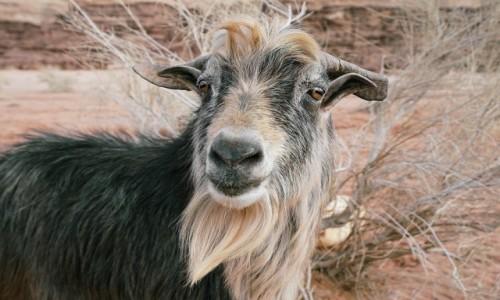 Zdjęcie JORDANIA / Wadi Rum / . / Koziołeczek