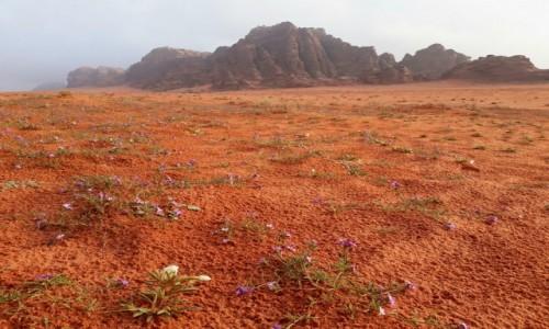 Zdjecie JORDANIA / Wadi Rum  / Wadi Rum  / Kwitnąca pustynia