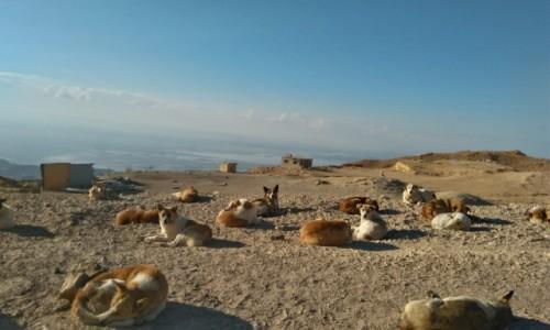 Zdjecie JORDANIA / . / tuż powyżej morza martwego  / bezpańskie psy przy drodze...