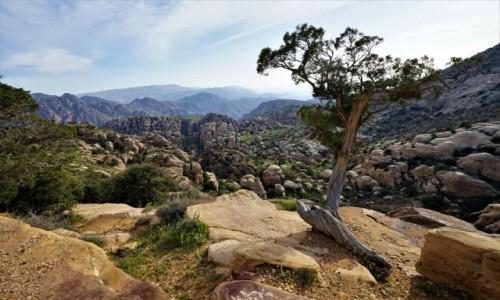 JORDANIA / Tafilah / Rezerwat biosfery Dana  / Drzewo