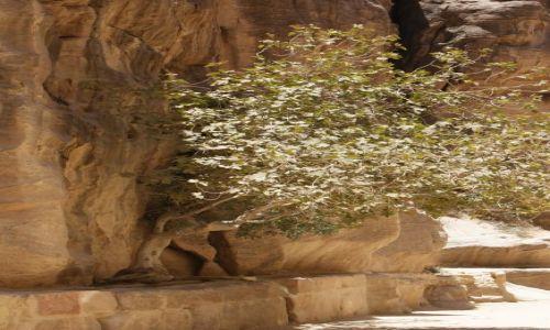 Zdjecie JORDANIA / Jordania / Petra / Odrobina zieleni w Petrze