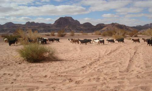 Zdjęcie JORDANIA / Aqaba / Wadi Rum / Kozy na pustyni (2)