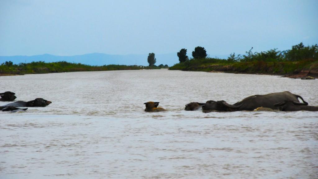 Zdjęcia: Angkor Borei, Takeo, Water buffalo, KAMBODżA