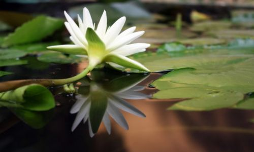 Zdjecie KAMBODżA / Phnom Penh / Phnom Penh / Lilia z królewskiego ogrodu