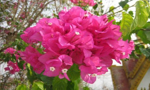 Zdjęcie KAMBODżA / Prowincja Battambang / Phnom Sapov / Kwiaty Kambodży