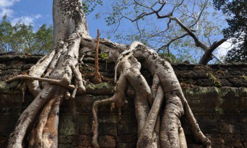 Zdjecie KAMBODżA / Okolice Siem Reap / Angkor / Zarastająca świątynia