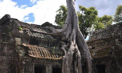 KAMBODżA / okolice Siem Reap / Angkor / Drzewo ośmiornica