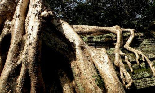 Zdjęcie KAMBODżA / Angkor / świątynia Ta Prohm / W obięciach drzewa