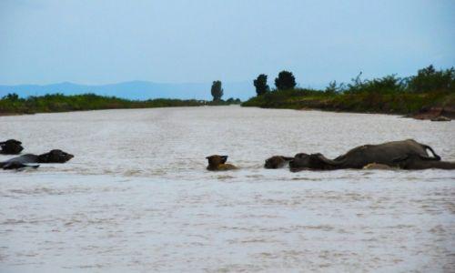 Zdjecie KAMBOD�A / Takeo / Angkor Borei / Water buffalo