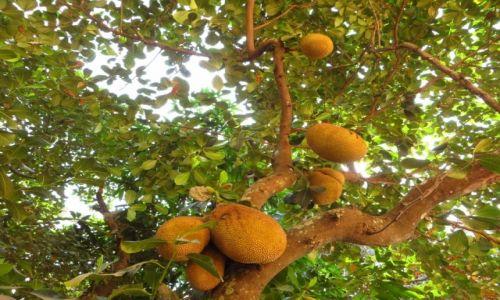 Zdjęcie KAMBODżA / Angkor / obok Świątyni Lolei / owoc mak mii (Jackfruit)