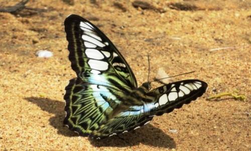 KAMBOD�A / Jezioro Tonle Sap / Kampong Phluk / Motyle s� wsz�dzie