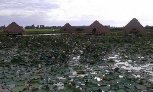 Zdjecie KAMBODżA / - / Kambodża / Plantacja lotosu