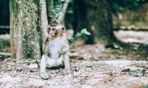 Zdjecie KAMBODżA / - / Angkor Wat / Małpka