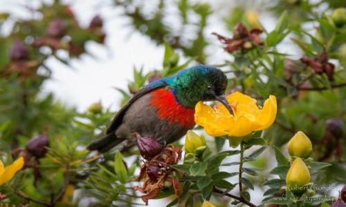 Zdjecie KAMERUN / Mount Cameroon / Mount Cameroon / Nektarnik oliwkowobrzuchy