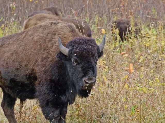 Zdjęcia: Manitoba / Riding Mountain National Park, bizon, KANADA