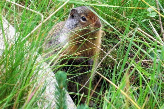 Zdjęcia: Alberta, Wiewiórka ziemna, KANADA