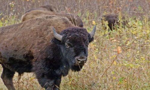 Zdjecie KANADA / - / Manitoba / Riding Mountain National Park / bizon